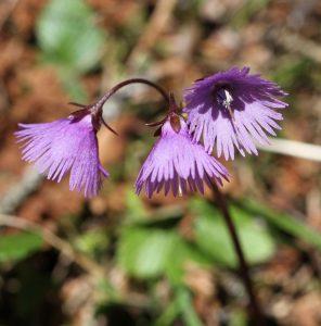 Alpenblumen-Poesie